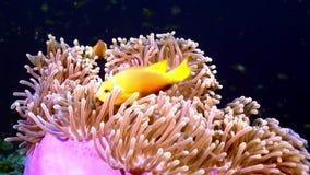 Actinia ветреницы и яркий оранжевый клоун удят на underwater морского дна Мальдивов акции видеоматериалы