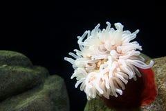 Actinia, anémona de mar Fotos de archivo libres de regalías
