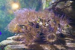 Actinia (anemon) Royaltyfri Fotografi