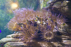 Actinia (anemone) Royalty Free Stock Photography