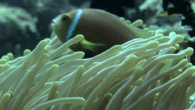 Actinia anemone on background colorful corals underwater in sea of Maldives. Swimming in world of colorful beautiful wildlife of corals reefs. Inhabitants in stock video
