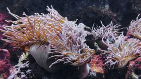Actinia en clownanemoonvissen stock videobeelden