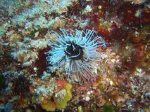 Actinia in mediterranean sea Stock Photography