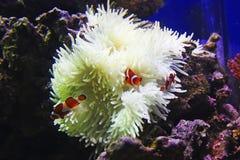 Actinia och tre clownfish Royaltyfri Bild