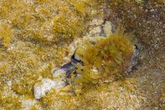 Actinia onderwater, Middellandse Zee Royalty-vrije Stock Afbeeldingen