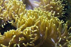 Actinia (Sea Anemone) Royalty Free Stock Images