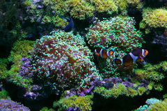 Actiniameerespflanze unter Wasser Stockbild