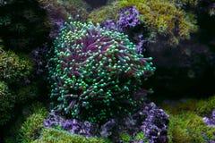 Actiniameerespflanze unter Wasser Lizenzfreie Stockfotografie