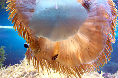 Actiniaria in einem Seeaquarium Stockbild