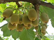 Actinidia chinensis royalty-vrije stock foto's