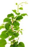 Actinidia deliciosa plant Royalty Free Stock Photography