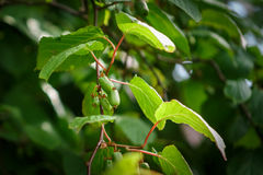 Actinidia frutages on the branch Stock Photos