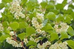 Actinidia (Hardy Kiwi) Plant with Flowers Stock Image