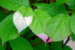 Actinidia kolomikta Royalty Free Stock Images