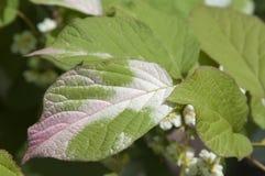 Actinidia kolomikta Blätter Stockfoto