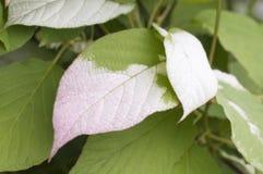 Actinidia kolomikta Blätter Stockfotos