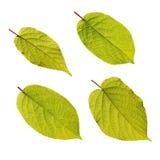 Actinidia kolomikta Blätter lokalisiert auf Weiß Lizenzfreies Stockfoto