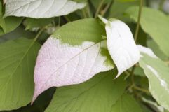 Actinidia kolomikta leaves Stock Photos