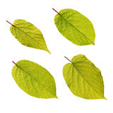 Actinidia kolomikta leaves isolated on white Royalty Free Stock Photo