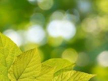 Actinidia kolomikta verlässt auf dem unscharfen Gartenhintergrund Lizenzfreies Stockbild