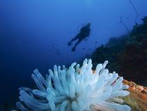 Actinie des Caraïbes géante blanchie, Bonaire, dégradation Antilles photo libre de droits