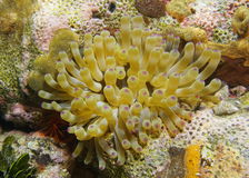 Actinie des Caraïbes géante d'espèce marine sous-marine Images stock