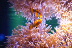 Actinie et Anemonefish Photo stock