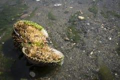 Actinie sur Sandy Beach à marée basse Image libre de droits