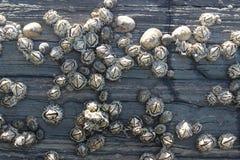 Actinies de Hexacorallia, espèce marine, animaux vivant dans l'océan, fond Images stock