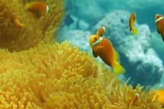 Actinies et banc de clownfish Photographie stock