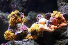 Actinies et coraux 1 Photographie stock