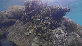 Actinies nageant sur le récif coralien en mer transparente sous la vue de l'eau Poissons hauts étroits de clown nageant dans l'ea clips vidéos