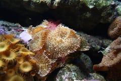 actinodiscus green zdjęcie royalty free