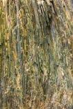 Actinolite kopalina od Tirol, Austria Obrazy Stock
