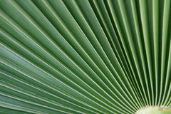 Actinomorphic leaf Stock Photography