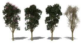 Actinophylla του Queensland Schefflera (Four Seasons) Στοκ εικόνες με δικαίωμα ελεύθερης χρήσης