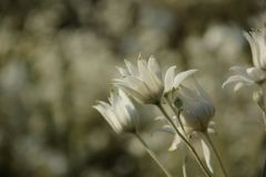 Actinotus-helianthi Lizenzfreie Stockfotos