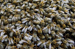 Worker honey bees, in the hive Royalty Free Stock Images