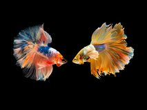 Free Action And Movement Of Thai Fighting Fish On A Black Background Royalty Free Stock Photos - 160930878