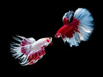 Free Action And Movement Of Thai Fighting Fish On A Black Background Stock Photos - 160930913
