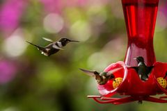 Action, animal, avian, avifauna, beak, beautiful, beauty, bird, birding, birds, brazil, closeup, colibri, colombia, color, colorfu. Hummingbirds with royalty free stock image