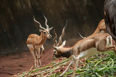 An action of a beautiful male impala ram. Stock Images