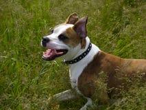 Action closeup American Bulldog. American Bulldog puppy running side shot royalty free stock images