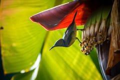 Action d'oiseau, Sunbird Photo libre de droits