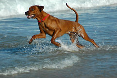 Action dog Royalty Free Stock Image