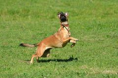 Action dog. A mixed breed athletic dog jumping and staring in the air in a dog park outdoors stock images