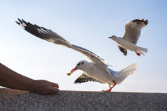 Action Feeding Seagull at thailand. Action Feeding Seagull at thailand Royalty Free Stock Images