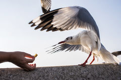 Action Feeding Seagull at thailand. Action Feeding Seagull at thailand Royalty Free Stock Photos
