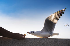 Action Feeding Seagull at thailand. Action Feeding Seagull at thailand Stock Photo