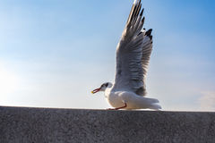 Action Feeding Seagull at thailand. Action Feeding Seagull at thailand Royalty Free Stock Image